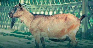 Ketentuan Menyembelih Hewan dalam Islam