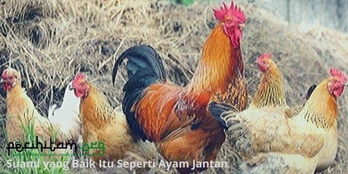 Jika Ingin Dibilang Suami yang Baik dan Tangguh, Jadilah Seperti Ayam!